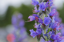 Echium Vulgare Best Known In C...