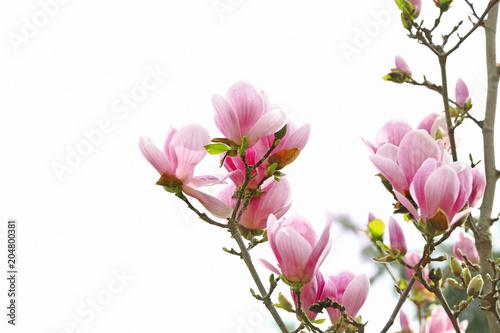 Foto op Plexiglas Magnolia Beautiful magnolia blossoms on spring day