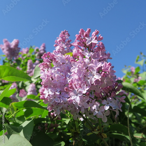 Foto op Canvas Lilac Syringa, bright lilac lilac flowers blooming in front of blue sky