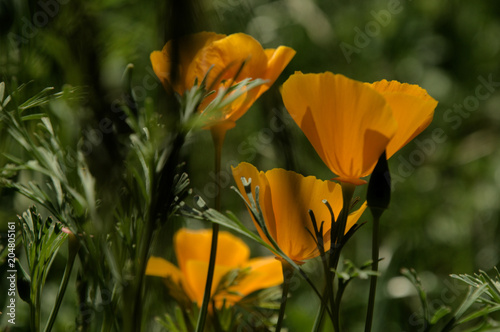 Fotografie, Obraz  Californian Poppies in village garden