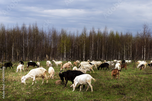 Fotografie, Obraz  a herd of goats pops into the field