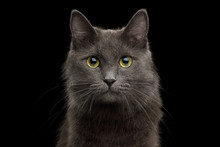Cute Portrait Of Grey Mixed-breed Cat On Isolated Black Background