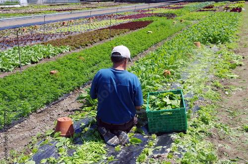 ouvrier maraicher dans son champ Tablou Canvas