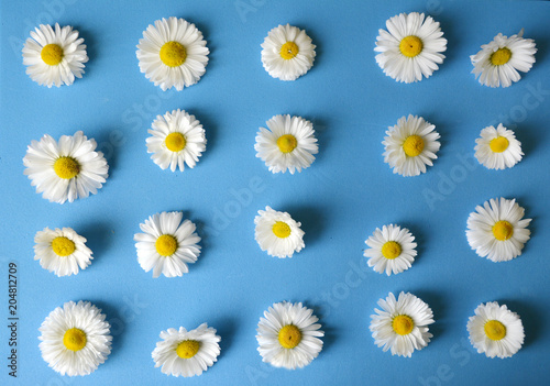 In de dag Madeliefjes floral pattern of white chamomiles (daisies) on a blue background. flat.top view
