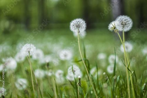 Staande foto Paardebloemen en water dandelion on blurred background
