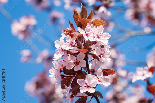 Spring Cherry Blossoms Pink Flowers On A Blue Sky Spring Floral