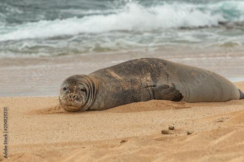Fototapeta premium Zagrożona hawajska foka mnicha na plaży Maui