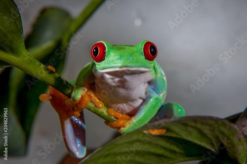 Türaufkleber Makrofotografie Beautiful red eyed tree frog
