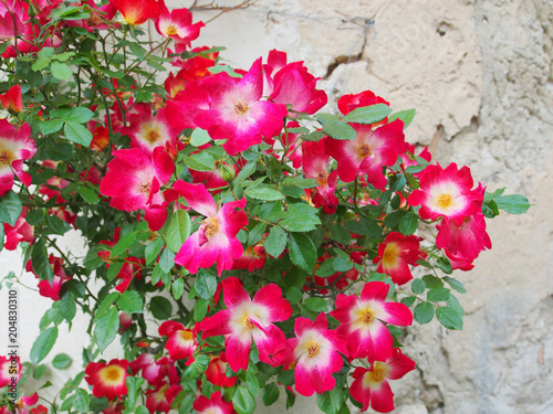 Poster Kletterpflanze: Pink Blühende Mandevilla an alter Fassade