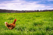 Hen Patrols Its Nesting Fields.