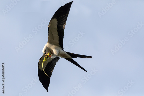 Photo  Flying swallow-tailed kite Elanoides forficatus with a Cuban knight anole