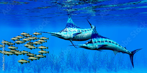 Photo  Marlin and Bocaccio Rockfish - Predatory Blue Marlin fish hunt a school of Bocaccio Rockfish over a kelp bed on the ocean floor