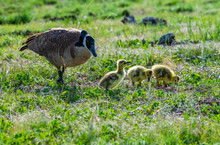 Canada Goose Family With New H...