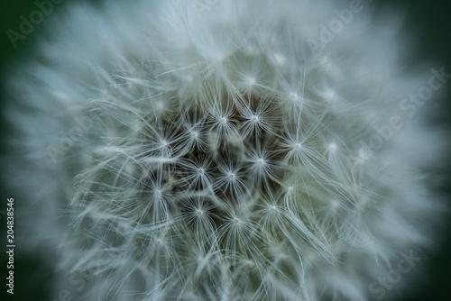 Fototapeta close up view of tender dandelion background obraz na płótnie