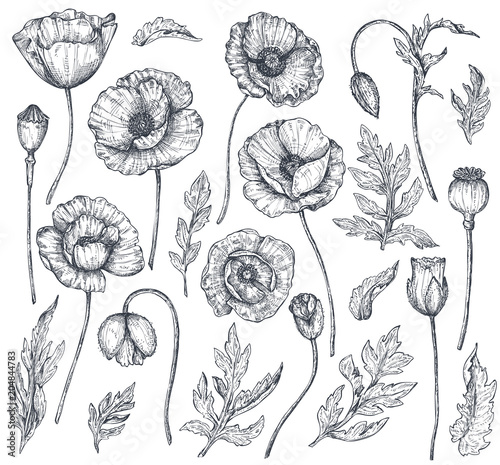 Vector collection of hand drawn poppy flowers - 204844783