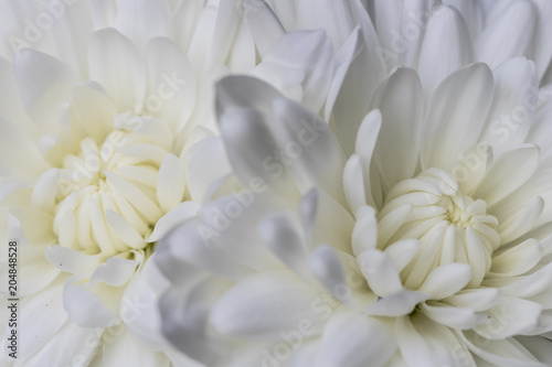 Poster de jardin Dahlia Beautiful White Flowers Close Up