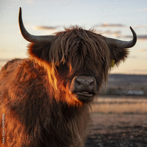 Fototapety, obrazy: Highland cow on the farm during the day