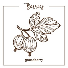 Gooseberry On Branch With Leaves Monochrome Berry Sketch