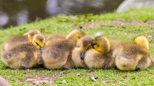 Adorable Baby Goslings Sleeping