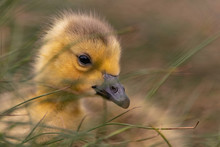 Adorable Baby Gosling In Grass