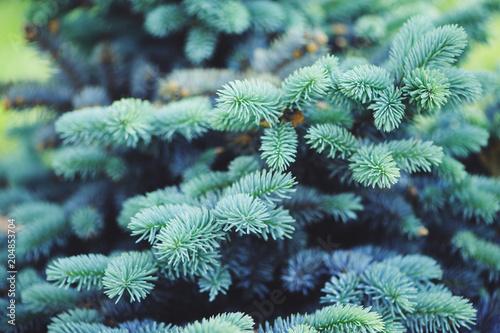 Carta da parati Picea (spruce) pungens Glauca Globosa in the garden, dwarf blue conifer