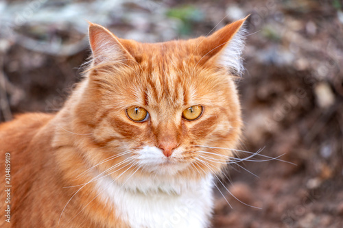 Photo  Abandoned red fluffy cat homeless on the street, looking at the camera