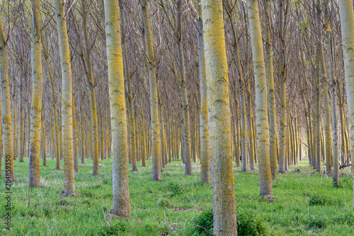 Bosque, troncos de chopo canadiense. Populus canadensis. Río Órbigo, León, España. © LFRabanedo