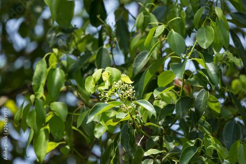 Young Leaf of Cinnamomum camphora tree Fototapeta