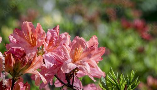 Blooming Rhododendron Azalea close-up. Beautyful azalea flower. Red.