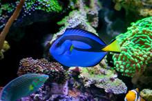 Paracanthurus Hepatus, Blue Ta...