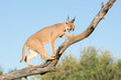 canvas print picture - Caracal, South Africa, snarling on tree branch