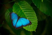 Blue Morpho (morpho Peleides) ...