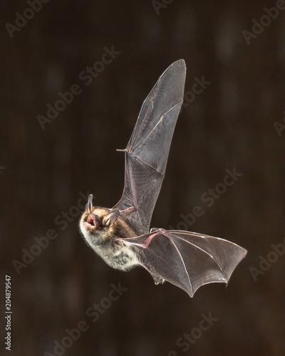 Rare Natterers bat in flight