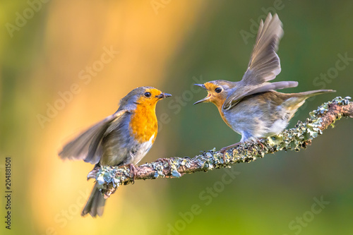 Foto auf Leinwand Vogel Parent Robin bird feeding young