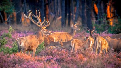 FototapetaGroup of red deer in heathland