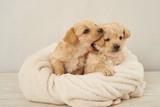 Fototapeta Animals - zaczepny piesek ,pies , psinka, młody piesek, przyjaźń, milusiński, milutki, miły ,słodki, sweet, little dogs, pieski w koszu, kundelki, kundel, szczeniaczki, szczeniaczek, kompozycja, domowe, przyjac