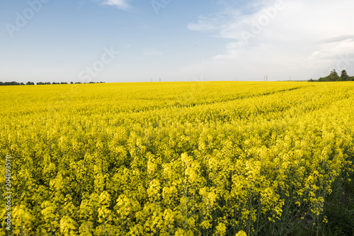 Foto op Aluminium Oranje Endless rapeseed field. Rape field. Yellow rapeseed fields and blue sky with clouds in sunny weather. Agriculture.