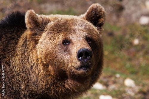 Foto  tête de l'ours brun