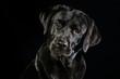canvas print picture - Portrait eines schwarzen Labrador Retrievers mit wunderschönen braunen Augen vor schwarzen Hintergrund