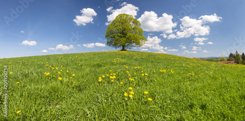 Papiers peints Secheresse Perfekte Linde als Einzelbaum im Frühling