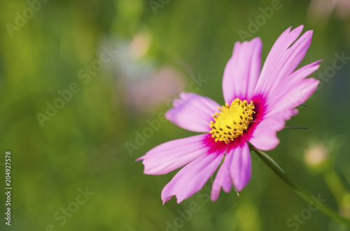 Papiers peints Univers Pink Cosmos Flower with Blurred Background
