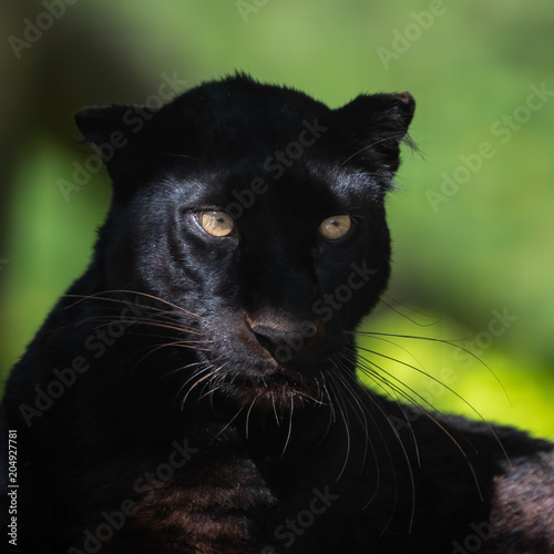 Papiers peints Panthère Black Panther Animal