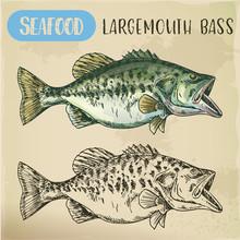 Hand Drawn Largemouth Bass Or ...