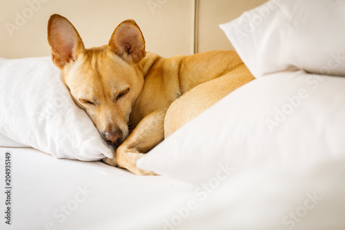 Foto op Plexiglas Crazy dog dog resting on bed at home