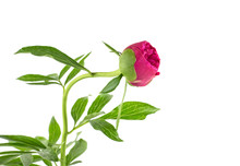 Red Flower Of Peony Isolated On White Background. Peony Bud.
