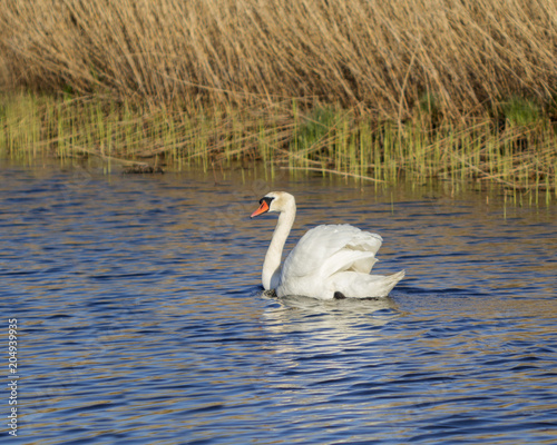 Foto op Canvas Zwaan beautiful white swan in the lake