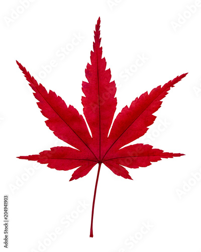 Japanese Red Maple Leaf Isolated Top