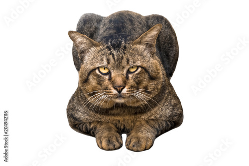 Portrait of brown eyed and big head tabby cat isolated on white background Wallpaper Mural