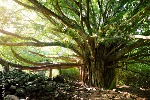 Branches and hanging roots of giant banyan tree growing on famous Pipiwai trail Canvas Print