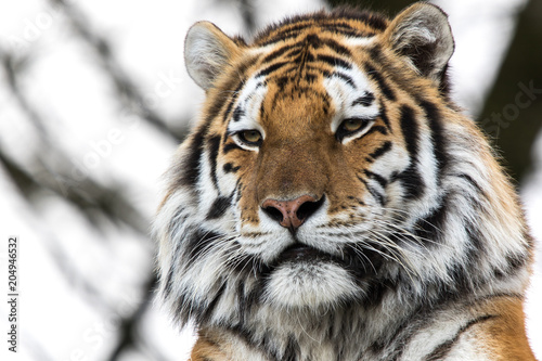 In de dag Tijger Close up of tiger